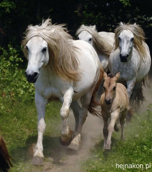 Kapkazy Stadnina Manoah hodowla koni Scottish Highland. Pony's. Fot.Krzysztof Jarczewski *** Local Caption *** Wzdó³ Kapkazy.Stadnina-MANOAH jest stadnin¹ szkockich kuców-Highland Pony.Fot.Krzysztof Jarczewski