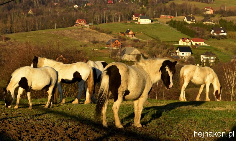 Górki, pagórki i konie; foto: FAPA-PRESS