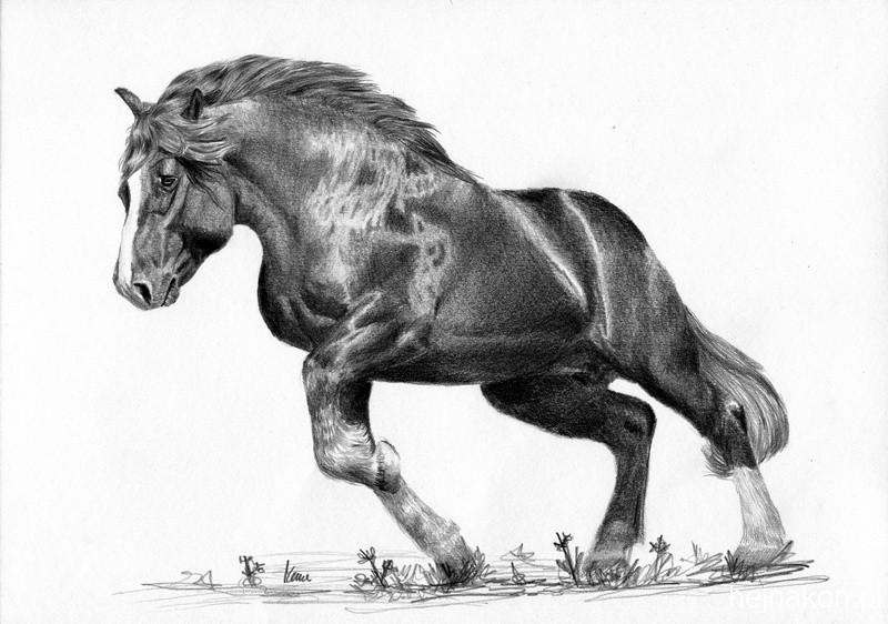 Rysunek-konia-zimnokrwisty-warrior